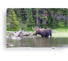 Water Feeding Moose Canvas Print