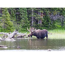 Water Feeding Moose Photographic Print