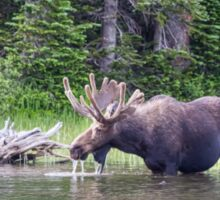 Water Feeding Moose Sticker