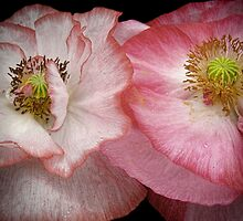 Poppies by EbyArts