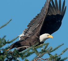 Bald Eagle Spots Its Prey by David Friederich