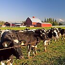 Dairy Cattle, Red Barn and Mount Rainier by Stacey Lynn Payne