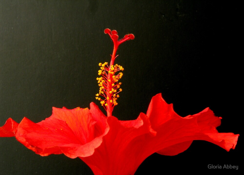 Red Hibiscus - 2 by Gloria Abbey