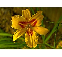 Hemerocallis bonanza. Photographic Print