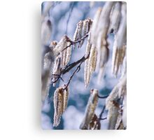 Lambs tails Canvas Print