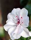 Just geranium by Antionette