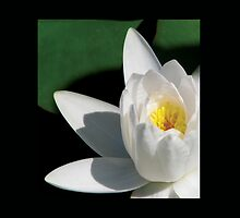White Water Lily Close Up by Shannon Schober