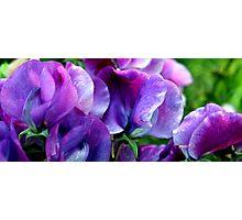 Skakerings van pers, van laventel tot lila/Shades of purple, from lavender to lilac Photographic Print