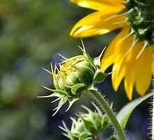 Budding sunflower by patticake