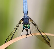 Odonata: Dragons of the Insect World by Wolf Read