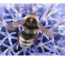 Mr Bumble bee Photographic Print