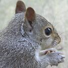 Eastern Gray Squirrel by CarolD