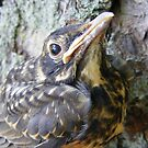 Baby American Robin by Dave & Trena Puckett