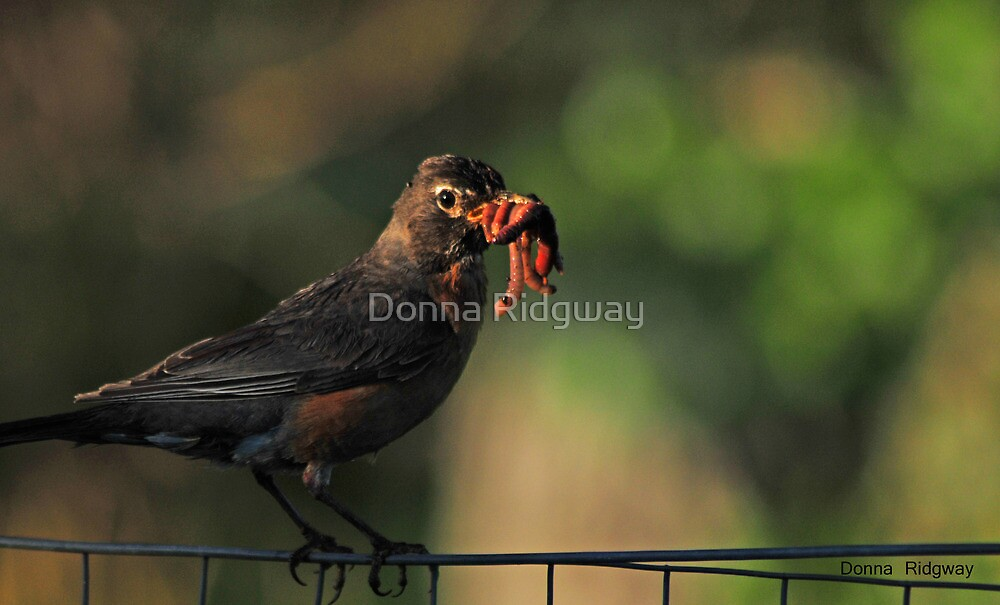 Don't have time to visit, I've got to feed the kids...Montana Robin by Donna Ridgway