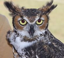 Owl by Brent Hayes