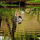 On Burton Pond: for the love of ducks #3 by Sandra Harris