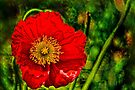 Bright Red Poppy by LudaNayvelt