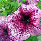 Petunias in Shade by Elizabeth Bennefeld