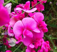 Wild Sweet peas by Tricia Stucenski