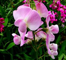 Wild Sweet Peas II by Tricia Stucenski