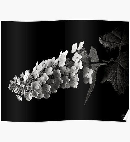 Hydrangea Paniculata in Black and White Poster