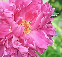 Peony Perfection by Lynda Lehmann
