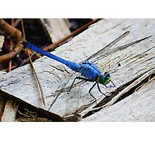 Blue Dragonfly Photographic Print
