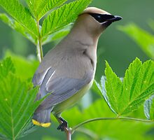 Young Cedar Waxwing on Salmonberry Bush by DJ LeMay