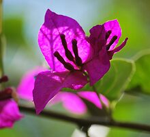 Bougainvillea by Lozzar Flowers & Art