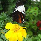 Butterfly 2 by junebug076