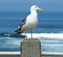 Seagull  by Vanessa Goodrich