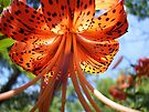 Tiger Lily by NatureGreeting Cards ©ccwri