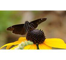 Moth on a black-eyed Susan Photographic Print