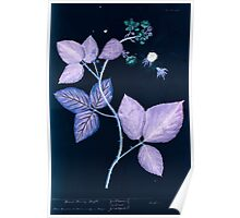 A curious herbal Elisabeth Blackwell John Norse Samuel Harding 1737 0124 Blackberry Black Berry Bush Inverted Poster
