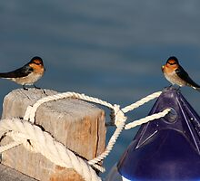 Welcome Swallows, Monkey Mia pier by ladieslounge