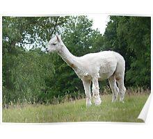 Llama or alpaca??? Poster