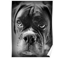 Oh Please... Let It Rain Cookies ~ Boxer Dogs Series ~ Poster