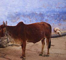 cow bundi india by jerra