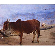 cow bundi india Photographic Print
