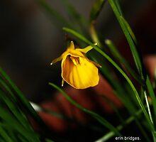 Daffodil by erinerinerin