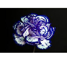 Carnation Portrait 2 Photographic Print