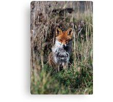 Fox in grass Canvas Print