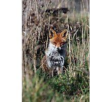 Fox in grass Photographic Print