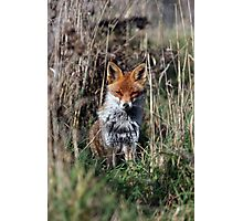 Fox in grass Photographic Print