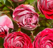 Pink and red roses Sticker