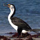 Australian Pied Cormorant by Jon Staniland