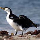 Little Pied Cormorant by Jon Staniland