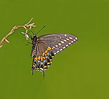 MALE EASTERN BLACK SWALLOWTAIL by TomBaumker