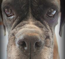 Are There Any Choc Cookies In There? - Boxer Dogs Series by Evita