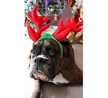 Reindeer This Year?...... Anything For That Cookie! - Boxer Dogs Series Photographic Print